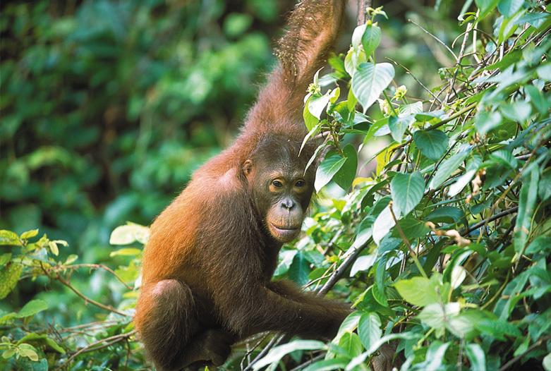 Malaysia Reisen | Orang Utan, Borneo