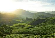 Malaysia Reisen | Teeplantage, Cameron Highlands