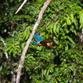 Malaysia Reisen | Kingfisher, Borneo