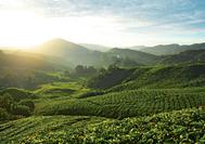 Malaysia Rundreise | Blick über die Teeplantagen der Cameron Highlands