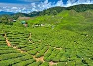 Panorama-Blick über eine der Tee-Plantagen in Cameron Highlands