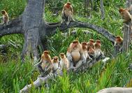 Nasenaffen auf Borneo