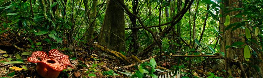 Malaysia Reisen | Rafflesia, Belum Rainforest