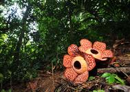 Die Rafflesia Blume im Belum Rainforest