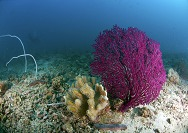 Malaysia-Reisen-Perhentian-Koralle 1.tif