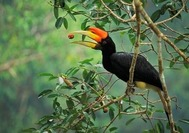 Hornbill im Belum Rainforest