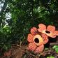 Malaysia Rundreise | Rafflesia, Belum Rainforest