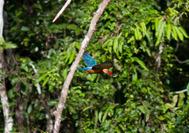 Kingfisher im Regenwald von Borneo