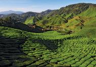 Malaysia Rundreise | Teeplantagen in den Cameron Highlands