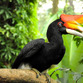 Malaysia Reisen | Hornbill, Royal Belum Rainforest