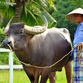 Malaysia Reisen | Büffel, Langkawi