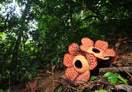 Malaysia Rundreise | Rafflesia im Royal Belum Rainforest