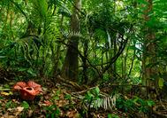 Blühende Rafflesia im Taman Negara Regenwald